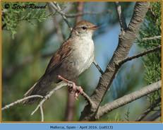 cettis-warbler-13.jpg