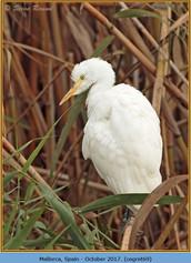 cattle-egret-69.jpg