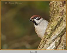 tree-sparrow-40.jpg