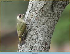green-woodpecker-21.jpg