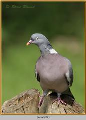 wood-pigeon-22.jpg