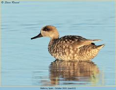 marbled-duck-12.jpg