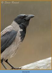 hooded-crow-14.jpg
