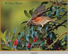 redwing-56.jpg
