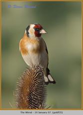 goldfinch-35.jpg