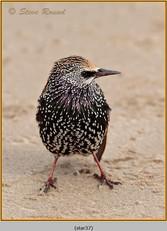 starling-37.jpg