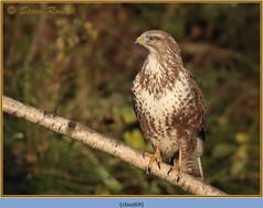buzzard- 69.jpg