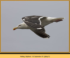 gt-b-backed-gull-17.jpg