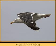 gt-b-backed-gull-17.jpg