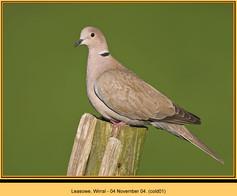 collared-dove-01.jpg