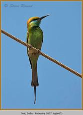 green-bee-eater-05.jpg