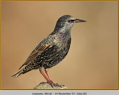 starling-18.jpg