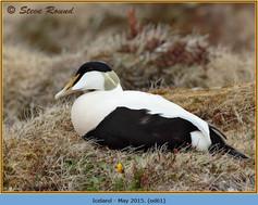 eider-duck- 61.jpg