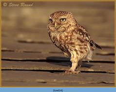 little-owl-24.jpg