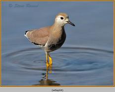 white-tailed-lapwing-04.jpg