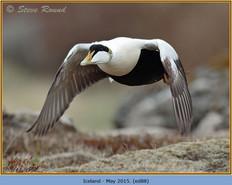eider-duck- 88.jpg