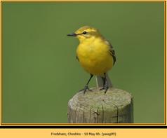 yellow-wagtail-09.jpg