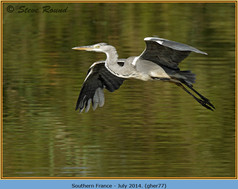 grey-heron-77.jpg