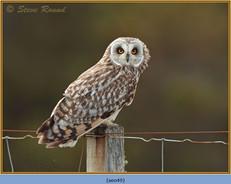 short-eared-owl-49.jpg