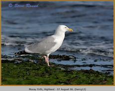 herring-gull-12.jpg