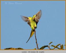 ring-necked-parakeet-06.jpg
