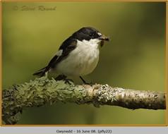 pied-flycatcher-22.jpg