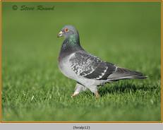 feral-pigeon-12.jpg