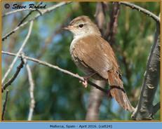 cettis-warbler-24.jpg