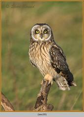 short-eared-owl-39.jpg