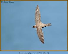 alpine-swift-10.jpg