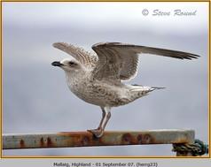 herring-gull-23.jpg