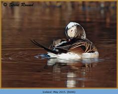 long-tailed-duck-46.jpg