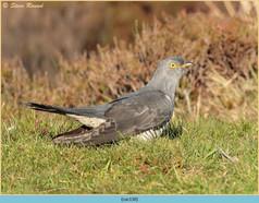 cuckoo-130.jpg