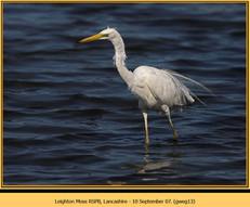 great-white-egret-13.jpg