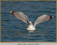 yellow-legged-gull-31.jpg