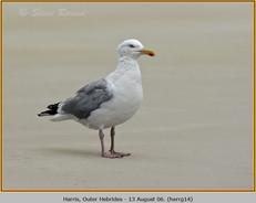 herring-gull-14.jpg