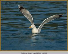 yellow-legged-gull-37.jpg