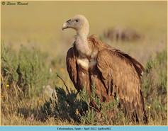 griffon-vulture-46.jpg