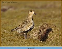 golden-plover-39.jpg
