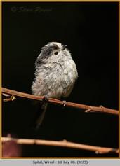 long-tailed-tit-35.jpg