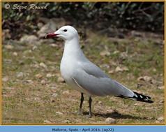 audouin's-gull-22.jpg