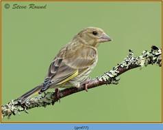 greenfinch-77.jpg