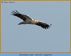 egyptian-vulture-05.jpg