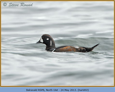 harlequin-duck-02.jpg