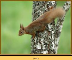 red-squirrel-23.jpg