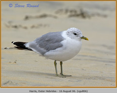 common-gull-06.jpg