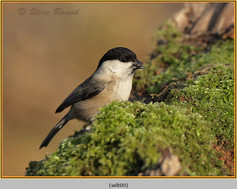 willow-tit-09.jpg