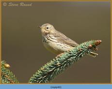 meadow-pipit-40.jpg
