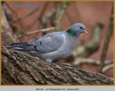 stock-dove-20.jpg