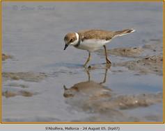 little-ringed-plover-07.jpg